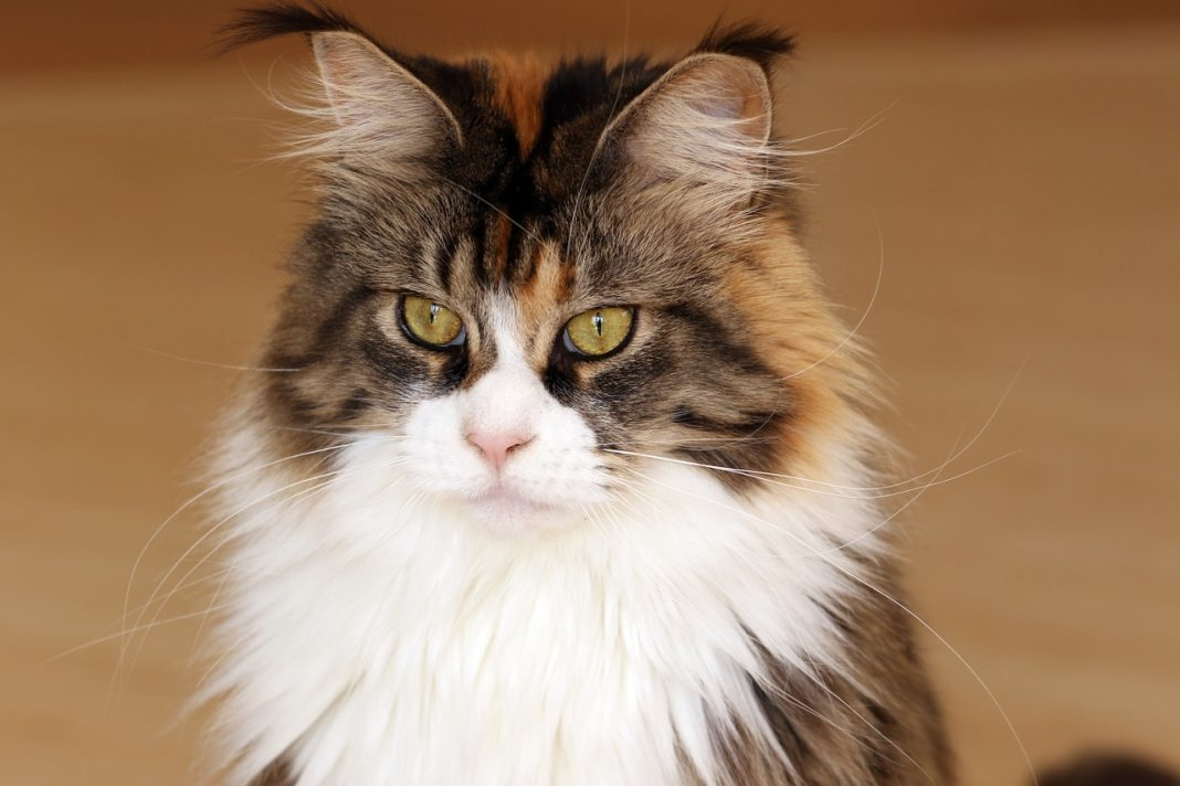 Il carattere del Maine Coon