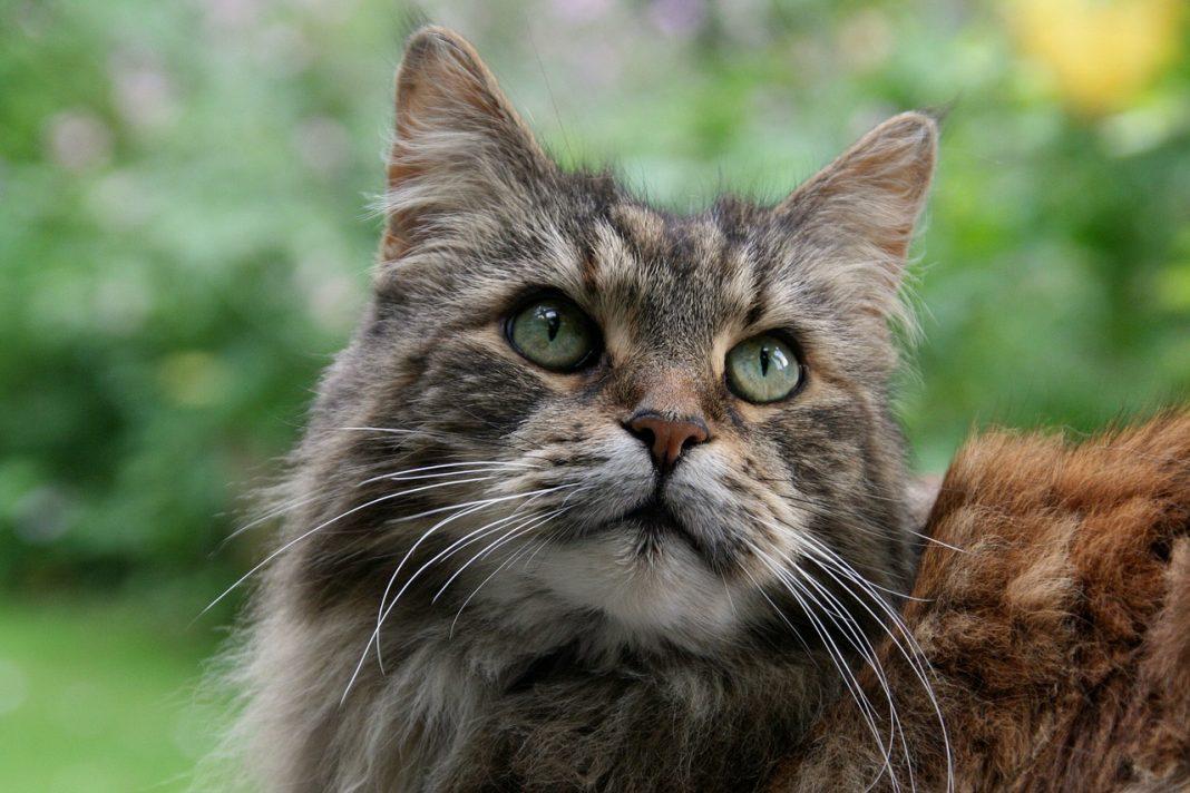 Crescere un gatto Maine Coon