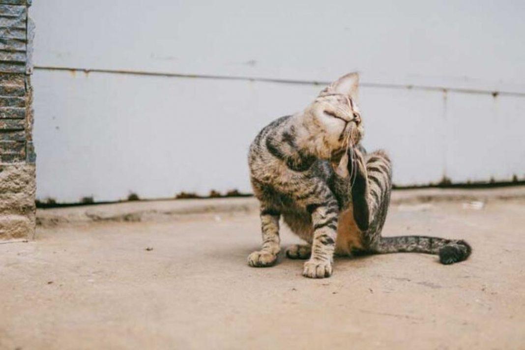Perchè gli antiparassitari per gatti sono importanti